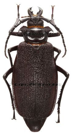 Longhorn Beetle, Centipedes, Golf Bags, Fashion Backpack, Butterfly, World, Insects, Animales, Butterflies