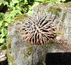 spiky fungus (fungi forum at permies)