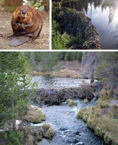 Beaver dams are created as a protection against predators, such as coyotes, wolves and bears, and to provide easy access to food during winter. Beavers always work at night and are prolific builders, carrying mud and stones with their fore-paws and timber between their teeth. Because of this, destroying a beaver dam without removing the beavers is difficult, especially if the dam is downstream of an active lodge.