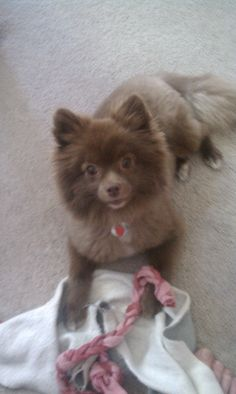 Our Chocolate Pomeranian, Bear, with her blanky.