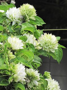 ~Clematis 'Duchess of Edinburgh. this is a wild and crazy version of clematis. Great for the white garden, but it would also be good in the blue and white, mixed with clematis in blue or with morning glories. Perennials Fabric, Shade Perennials, Moon Garden, Dream Garden, Beautiful Gardens, Beautiful Flowers, Beautiful Pictures, Clematis Vine, White Clematis