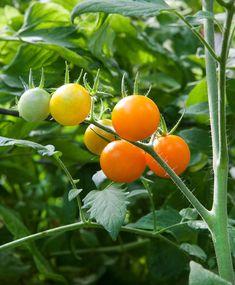 80 Seeds Sugar Lump TOMATO Gardener/'s Delight HEAVY YIELDING VARIETY Bulk