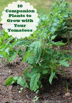 Tomato Growing Companion 10 Companion Plants to Grow with Your Tomatoes - Growing Tomatoes In Containers, Growing Veggies, Grow Tomatoes, How To Plant Tomatoes, Tomato Plants, Tomato Pruning, Tomato Seedlings, Growing Plants, Gardening For Beginners
