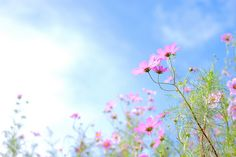 blue sky pink flowers