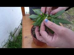 Cultivo en Casa - Macho o Hembra? - YouTube Weed, Business, Youtube, Plants, Cannabis Plant, Veggie Gardens, Growing Weed, Female