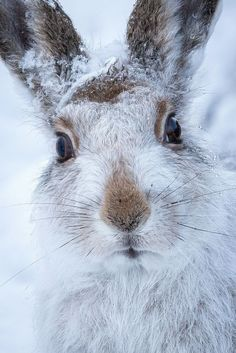 Mountain hare by Susanna Chan. ° Stunning detail Ms Chan.
