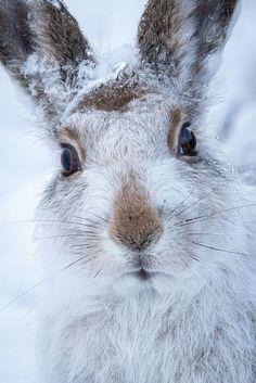 Mountain hare by Susanna Chan. °