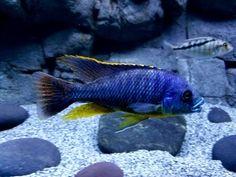 Feeding your african cichlids Tropical Aquarium, African Cichlids, Fish Tank, Pets, Animals, Animals And Pets, Animales, Aquarium, Animaux