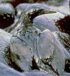 The crude oil spill into the Exxon Valdez accident in one of the worst environmental disasters ever, still is found under the gravel beaches of Alaska. Fractional Distillation, Ocean Pollution, Environmental Pollution, Plastic Pollution, Environmental Issues, Bp Oil, Life Cover, Oil Spill, Tag Image