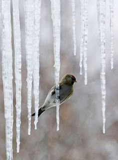Marilyn Thistlebroom icicles