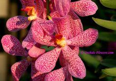 The pink Mokara Chark Kuan is an epiphytic growing, trigeneric orchid hybrid, a crossing between Aranda Christine (seed parent) and Ascocenda Cholburi (pollen parent).