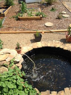 Goldfish ponds on pinterest ponds koi ponds and goldfish for Garden pool doomsday preppers