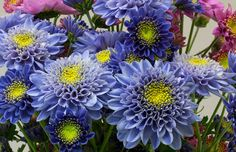 Японские генетики создали настоящую голубую хризантему