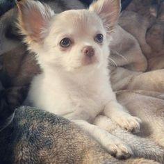 ❤️ La magnifique Nerri (fille de Sofia et Sammy) avec ses beaux yeux clairs ❤️  www.machupitouchihuahua.com