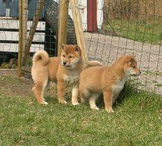 Shiba Inu...love these dogs.