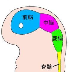 前脳 - Wikipedia