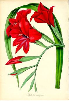 gladiola tattoo - Google Search