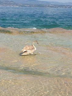 Jonge zwaan in Sirmione Gardameer Italie