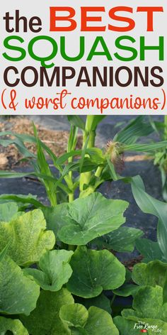 Companion planting is a great way to improve your garden- both with fewer pests and a better harvest. Here are the best companion plants for squash to plant in your vegetable garden. Includes both winter and summer squashes Vegetable Garden Planning, Vegetable Garden For Beginners, Backyard Vegetable Gardens, Vegetable Garden Design, Squash Companion Plants, Companion Planting, Growing Vegetables At Home, Planting Vegetables, Gardening Hacks