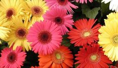 cultivation practices of gerbera in simple way. it create some idea about gerbera cultivation- authorSTREAM Presentation Gerbera Jamesonii, Ficus, Flower Seeds Online, Gerber Daisies, Palmiers, Herb Seeds, Winter Flowers, Types Of Flowers, Gardens