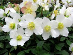 Helleborus niger 'Jacob' (The Christmas rose 'Jacob') is loaded with flowers from November through late spring.