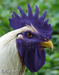 A Purple Rooster Fancy Chickens, Chickens And Roosters, Chickens Backyard, Farm Animals, Animals And Pets, Funny Animals, Cute Animals, Pretty Birds, Beautiful Birds