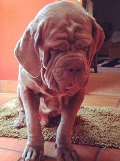 Neapolitan Mastiff / Italian Mastiff love that neo face!!!