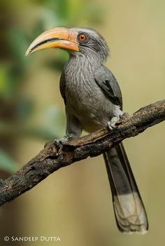 This male gave us some nice pose on a clean perch :) Malaban Grey Hornbill by Sandeep Dutta 500px