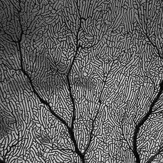 Coral  Great Barrier Reef  #fancoral #coral #marinelife #ocean #greatbarrierreef #coralreef #underwater #underwaterphotography #photography #blackandwhite by bwuw.photos http://ift.tt/1UokkV2