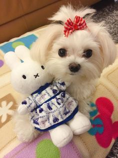 Adorably cute and cuddly maltese ! Micro Teacup Puppies, Tiny Puppies, Cute Puppies, Cute Dogs, Cute Funny Animals, Cute Baby Animals, Cute Baby Cats, Maltese Dogs, Baby Dogs
