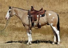 """American paint horse - """"Sprinkler"""", amazingly well conformed for a paint Most Beautiful Horses, Pretty Horses, Horse Love, Animals Beautiful, American Paint Horse, American Quarter Horse, Quarter Horses, Horse Photos, Horse Pictures"""