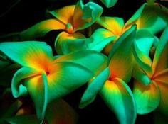 A beautiful color of a plumeria