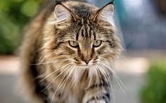 Scarica sfondi Gatto, look, animali, gatti, gatto grigio