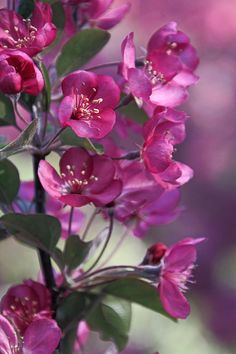 ~~Springtme Crabapple Blossoms by Theo O Connor~~