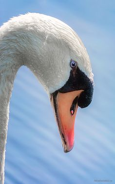 Mute Swan By LeeAnn McLaneGoetz McLaneGoetzStudioLLC.com  This swans affection is hard to miss, A little flirtation is on going during the mating season. Lake Saint Clair Metro Park Michigan #Swan,#Michigan,#Lake Saint Clair