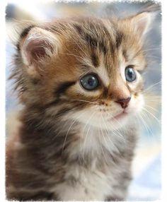 Siberian cat breeders Kittens for sale Ontario Canada