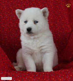 american bulldog puppies for sale in ohio Zoe Fans Blog