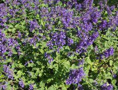 Nepeta faassenii 'Six hills giant', kantnepeta. Grågröna aromatiskt doftande blad, blå blommor i maj-september. 30 cm. Bild: Taimistoviljelijät
