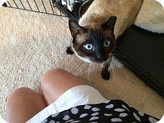 Siamese Cat for adoption in Flowery Branch, Georgia - Saint
