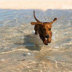 Funny Dachshund, Dachshund Puppies, Dachshund Love, Cute Puppies, Cute Dogs, Dogs And Puppies, Dapple Dachshund, Daschund, Chihuahua Dogs