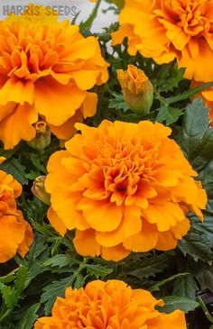 Harris Seeds | Marigold Chica Orange brings warm orange flowers to your garden. Bonus: Marigold is a natural deterrent for many pests. A great companion plant!