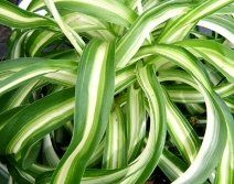 Houseplants That Filter the Air We Breathe Chlorophytum Comosum 'Bonnie' Spider Plant All Plants, Types Of Plants, Chlorophytum, Garden Site, Small White Flowers, House Plant Care, Mother Plant, Spider Plants, Plant Needs