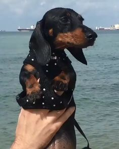 12 Amazing Reasons Dachshunds Are The Cutest Dogs On The Earth - Dachshund Bonus Funny Dachshund, Dachshund Puppies, Weenie Dogs, Dachshund Love, Cute Puppies, Dogs And Puppies, Daschund, Dachshund Facts, Funny Pets