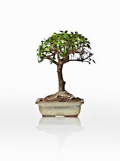 Bonsai tree on white background @RTPinterests