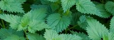 You can incorporate nettles in your diet by creating amazing culinary delights or by steeping them as a tea when you just feel like you need some super powers. Edible Wild Plants, Stress, Holistic Medicine, Medicinal Plants, Nutritious Meals, Clean Recipes, Healthy Tips, Natural Health, Benefit