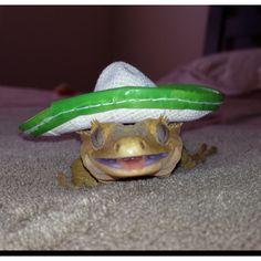 My friend's crested gecko Rupert... Celebrating Cinco de Mayo :)