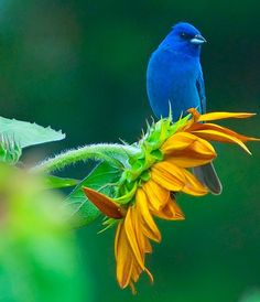 Indigo Bunting on a sunflower—a migratory bird, ranging from southern Canada in the summer to northern South America during the winter.