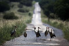 Week In wildlife: White Storks stand on a road in the  Israeli-occupied Golan Heights, near the border with Syria. The birds are long-distance migrants, travelling to Europe and Africa. They avoid crossing the Mediterranean Sea by making a detour via the Levant, as they depend on air thermals during their flight which do not form over a large body of water © Menahem Kahana/AFP/Getty Images