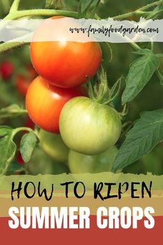Do you need to ripen summer crops before the frosts? Here are a few tips you can try! Learn how to ripen summer crops on the vine or indoors today. Container Gardening, Gardening Tips, Indoor Gardening, Flower Gardening, Vegetable Gardening, Indoor Plants, Garden Crafts, Garden Ideas