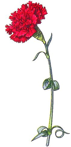 clipart tall flowers in pots | Carnations painted by | Background Wallpaper